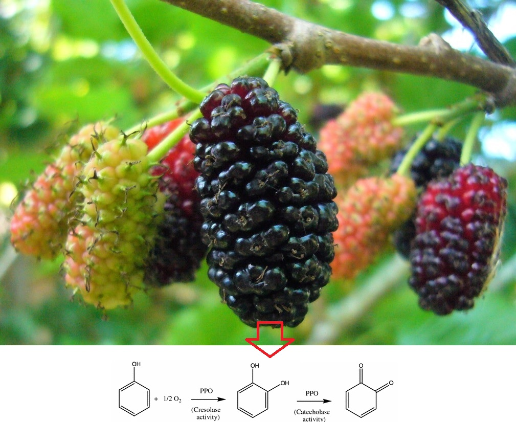Partial purification and characterization of cresolase and catecholase activity of black mulberrys (Morus nigra)