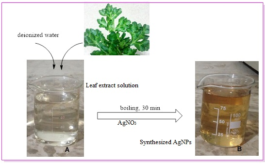 Green synthesis of silver nanoparticles using (Eryngium Campestre) leaf extract