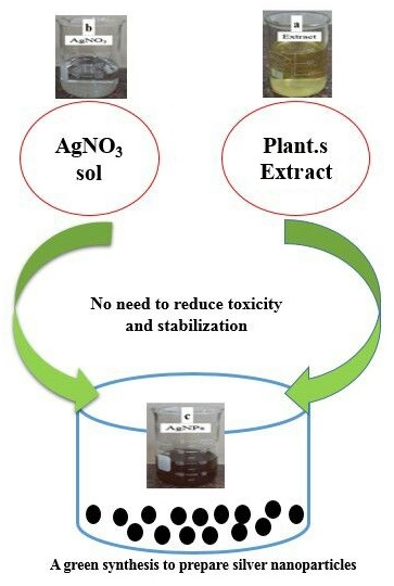 Green synthesis and characterization of silver nanoparticles using Scrophularia Striata extract